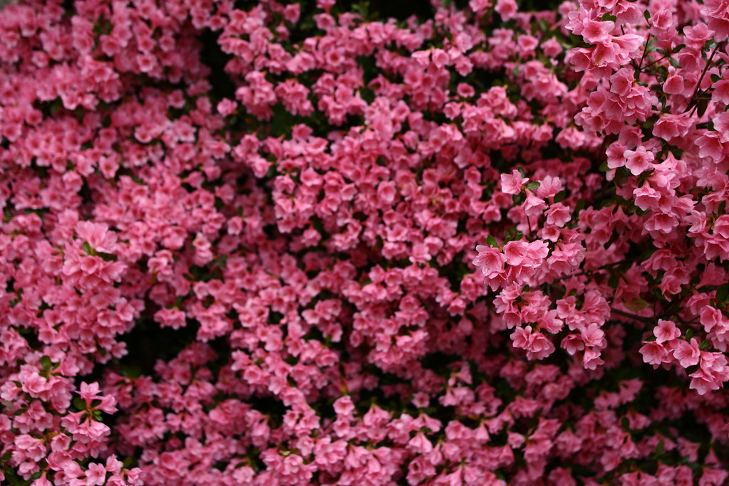 Pink spring flowers bush spring flowers in bloom forestwan flickr - Flowers that bloom from spring to fall ...
