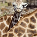 Giraffes at a German Zoo (AP Photo/Martin Meissner)