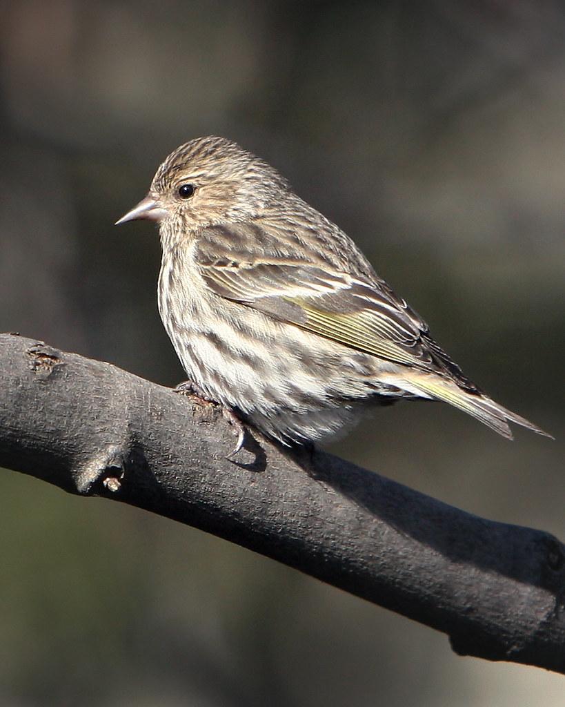 pine siskin ontario backyard birds dan flickr