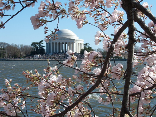 Cherry Tree Blossoms & Jefferson Memorial | by cliff1066™
