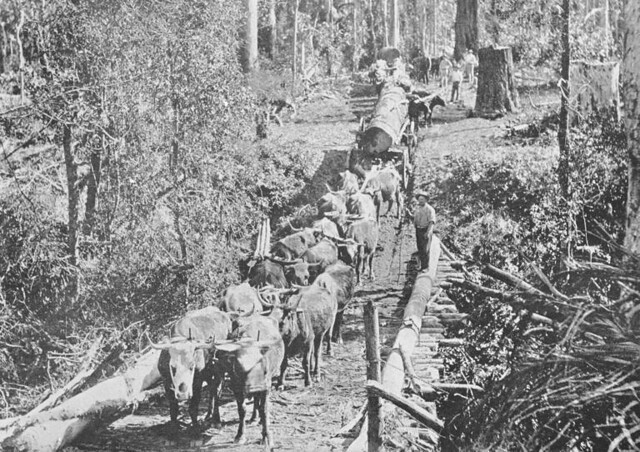 Bullock team Wyong area   Gostalgia: local history from ...