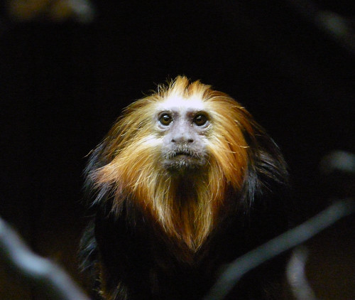 London Zoo Golden Headed Lion Tamarin | by Claudecf