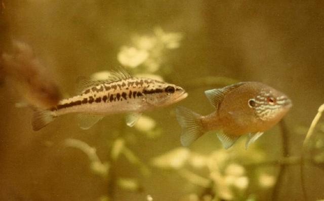 Freshwater sunfish south carolina 1975 two locally for South carolina freshwater fish
