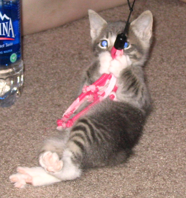 Gray kitten playing with lure toy 11