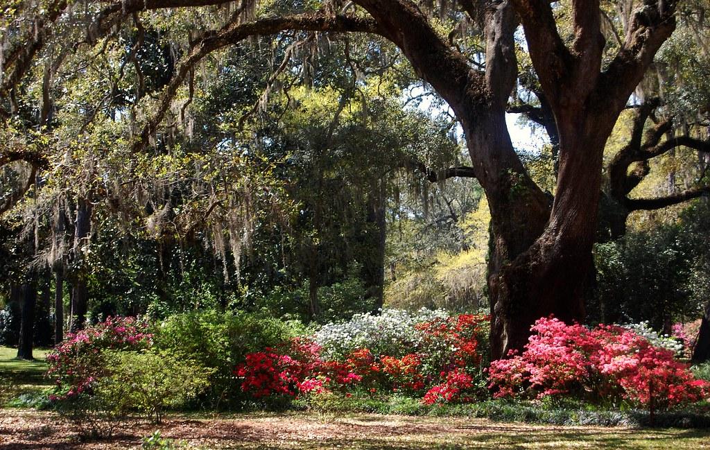 What Plants Grow Under Live Oak Trees : Azaleas live oaks and spanish moss at eden garden state p