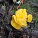 7a. Witch's Butter (Tremella mesenterica)