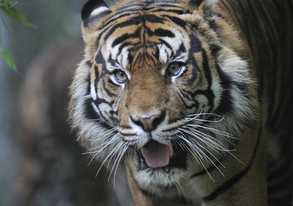sumatran tigers    sumatra