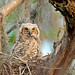 Great Horned Owl Chick in Nest 0577