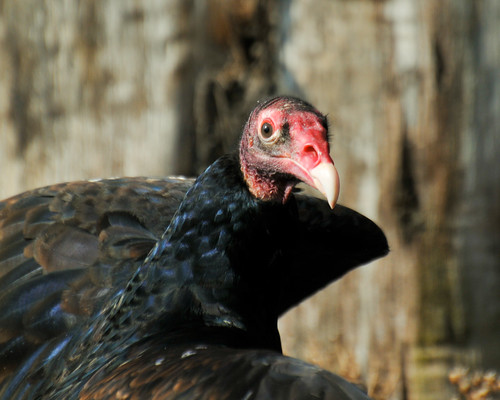 Turkey Vulture | by Robinsegg