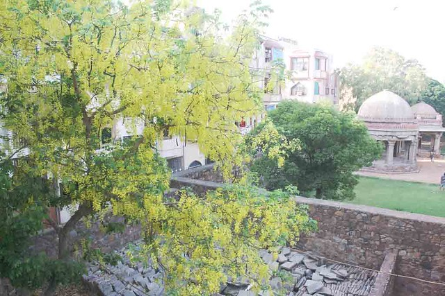 City Season – Amaltas Trees, Hauz Khas Village