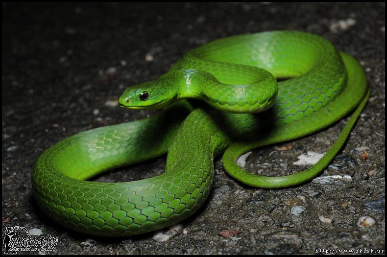 不似赤尾青竹絲的紅眼,青蛇的眼睛是黑色的。
