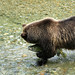 Alaskan Coastal Brown bear.....10