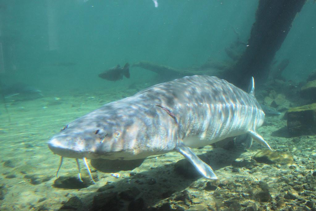 2009 04 05 8350 sturgeon at bonneville dam fish hatchery for Bonneville dam fish camera