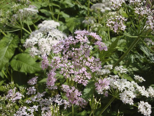 Chaerophyllum hirsutum Roseum | by James's GW Blog
