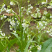 Humble Garden: horseradish flowers
