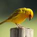 Canário-da-terra - (Saffron finch) - (Sicalis flaveola)