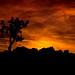 Joshua Tree Fire In The Sky
