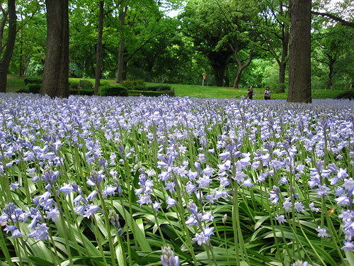 Bluebell Wood | by Brooklyn Botanic Garden