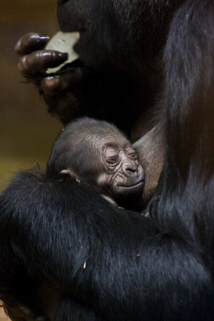 1 Day Old Baby Gorilla And Mother Finally The Baby