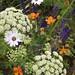 Geum Prinses juliana, Ligusticum lucidum, Salvia and Osteospermum