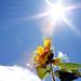 The Sun Shines on Me - ピカピカなひまわり。