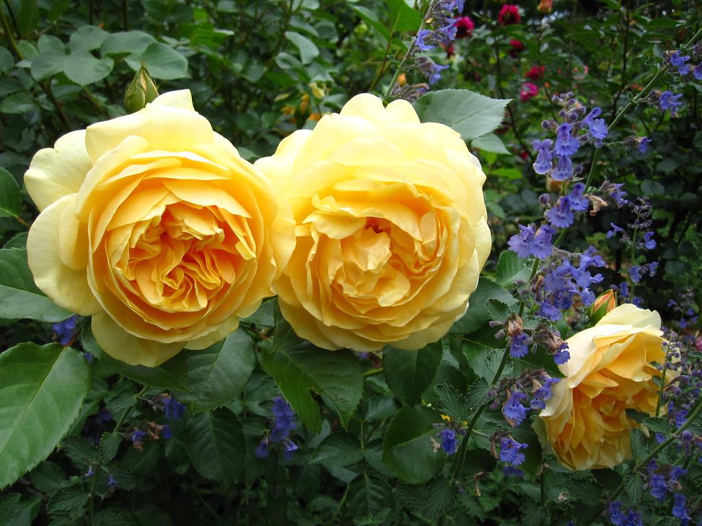 rosa graham thomas rosa 39 graham thomas 39 an english shrub flickr. Black Bedroom Furniture Sets. Home Design Ideas
