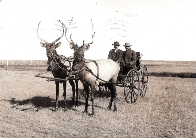 Animals Pulling Wagon : Elk pulling a cart ahh so awesome for the animals with