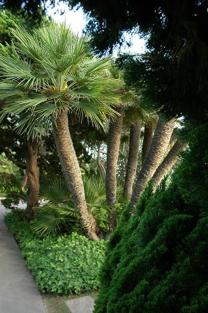 Palm Trees Meditation Garden Self Realization Fellowship Encinitas California Usa 3490