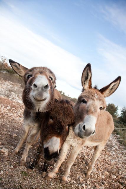 donkeys near aix en provence provence france sanch flickr. Black Bedroom Furniture Sets. Home Design Ideas