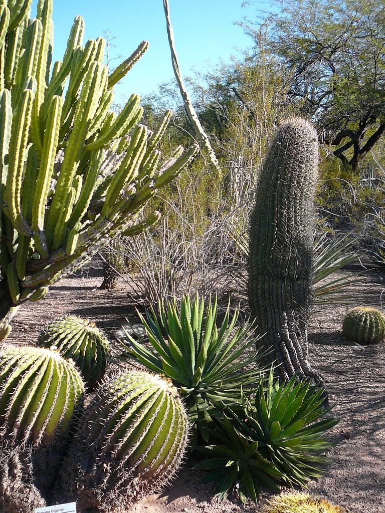 Barrel Cactuses Desert Botanical Garden Phoenix