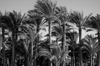 Palm Trees of Saqqara | by jaybergesen