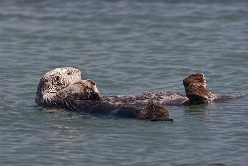 Sea Otters (Mom with pup) at Target Rock near Morro Rock in Morro Bay, CA 04 April 2009 | by mikebaird