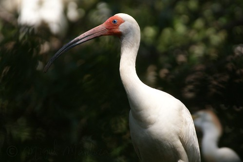 White Ibis Profile | by Shutter_Hand