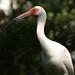 White Ibis Profile