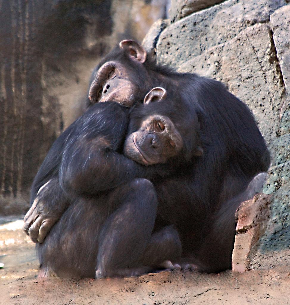 Images of Baby Chimpanzee Hugging - #rock-cafe