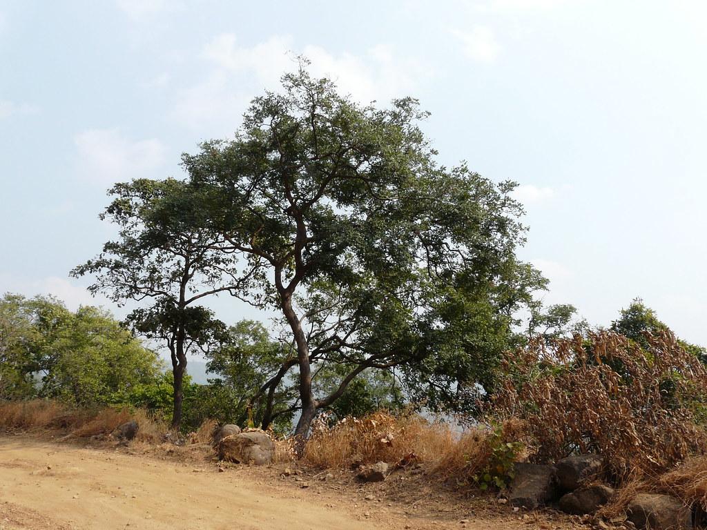 Iruguducettu Telugu ���రుగుడుచెట్టు Fabaceae Pea Or