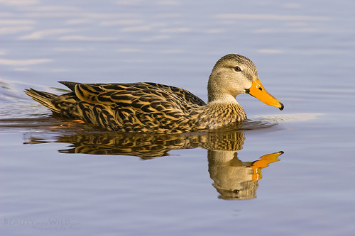 Florida Mottled Duck | by Jay Paredes