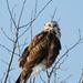 Rough-legged Hawk DSC_0407