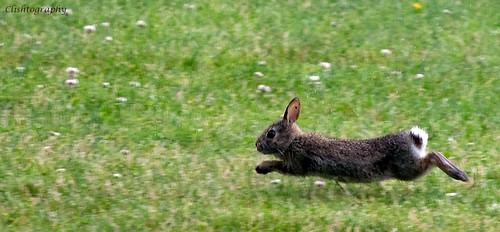 wild running rabbit flickr   photo sharing