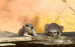 Meerkats Hangin´ out | by mm_leones