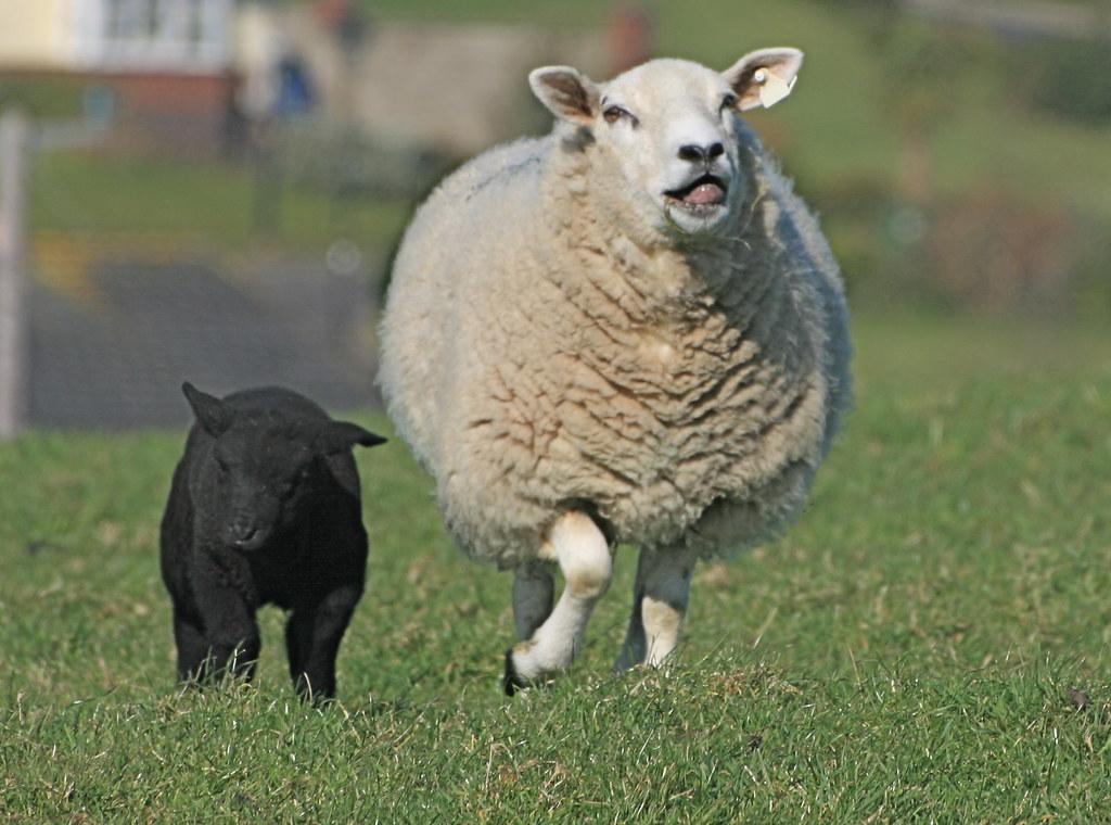 blaack lamb -  smiling mum!! | by davida3