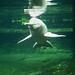 Amazonasdelphin / Amazon River Dolphin (Inia geoffrensis)