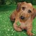 """Chandler, Mr. March 2009 """"Rescue Dachshund"""""""