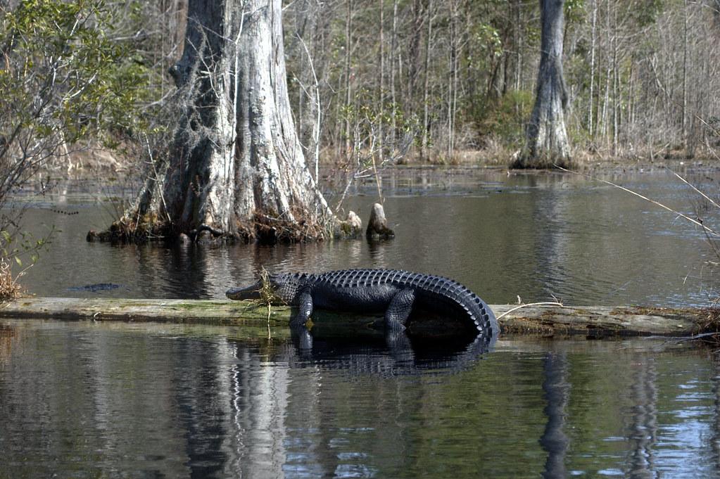 Alligator Cypress Gardens Goose Creek South Carolina Flickr