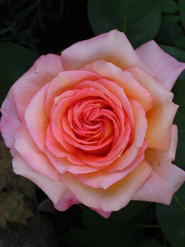 Rose | by Oberau-Online