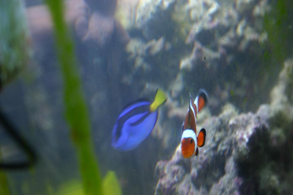 Blue tang fish and clown fish