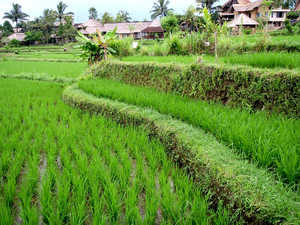 Ubud Rice Paddy Fields - Bali Indonesia (6) | Eric Pesik