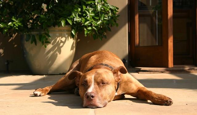 Killer Pit Bull guard dog | Flickr - Photo Sharing!