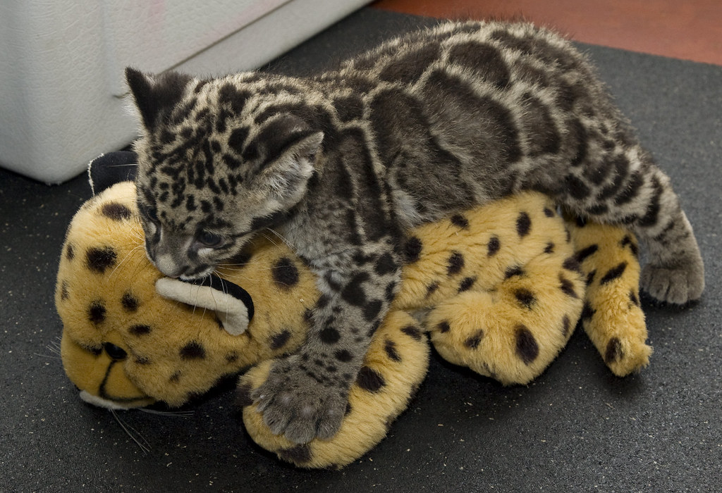 clouded leopard cubs are 12 weeks old a 12weekold