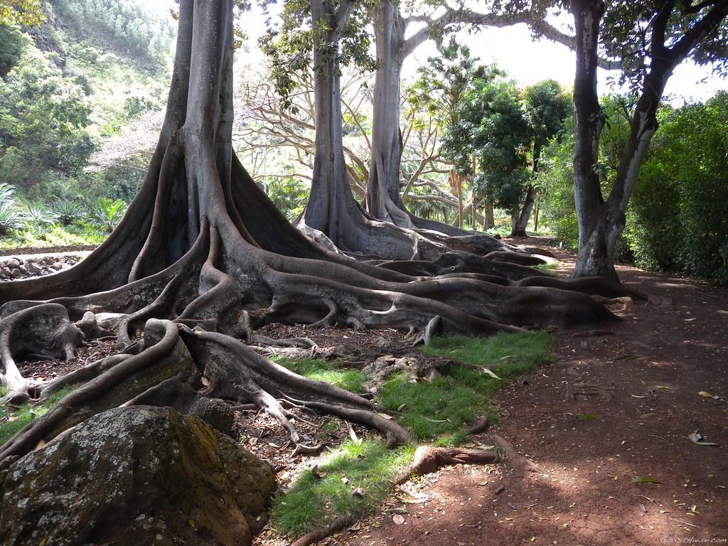 Allerton Gardens On Kauai These Trees Were In Pirates Of
